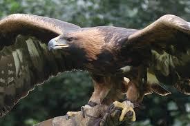 Paradise Park Golden Eagle